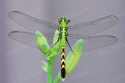#619  Eastern Pondhawk  Dragonfly, female