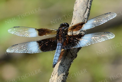 #1099  Widow Skimmer Dragonfly
