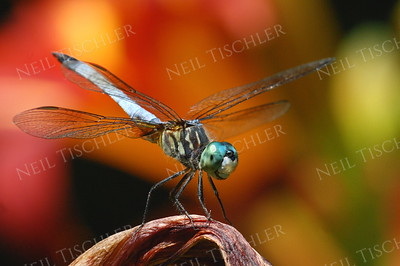 #884  Blue Dasher Dragonfly, male