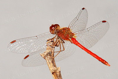 #629  Ruby Meadowhawk Dragonfly, male