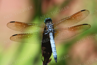 #877  Blue Dasher Dragonfly, male