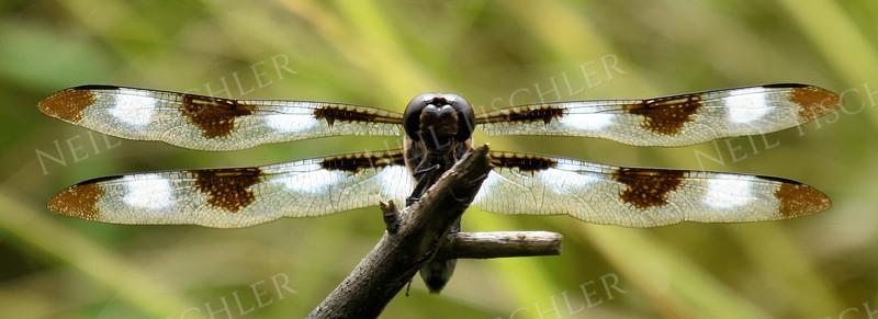 #1377  back-lit dragonfly