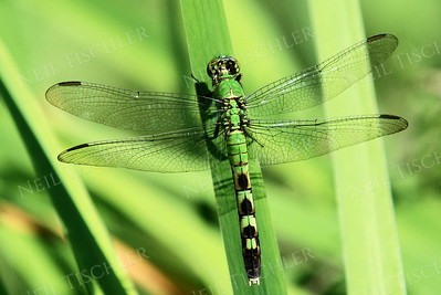 #1034  Eastern Pondhawk Dragonfly, female