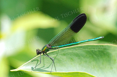 #779  River Jewelwing Damselfly, male