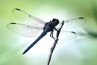 #1505  Blue Dasher dragonfly, male