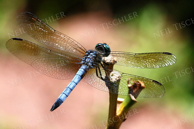 #850  Blue Dasher Dragonfly, male