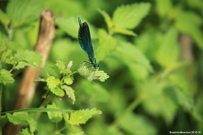 Beautiful Demoiselle, Calopteryx virgo (male) 005