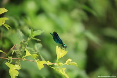 Beautiful Demoiselle, Calopteryx virgo (male) 009