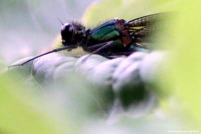 Beautiful Demoiselle, Calopteryx virgo (male) 004