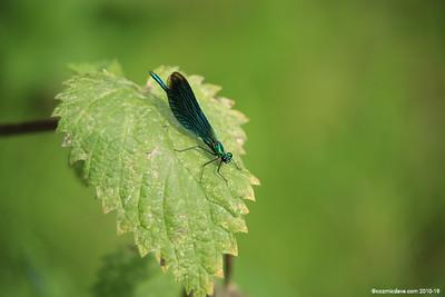 Beautiful Demoiselle, Calopteryx virgo (male) 010