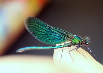 Beautiful Demoiselle, Calopteryx virgo (male) 007