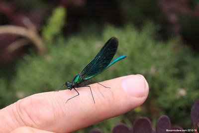 Beautiful Demoiselle, Calopteryx virgo (male) 003
