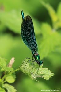 Beautiful Demoiselle, Calopteryx virgo (male) 008