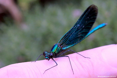Beautiful Demoiselle, Calopteryx virgo (male) 002