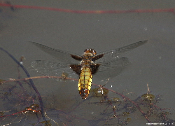 Broad-bodied Chaser Libellula depressa (female) 001 (July 2013)