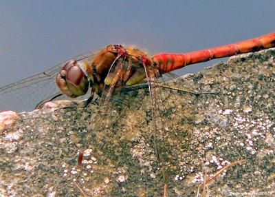 Common Darter Sympetrum striolatum 001