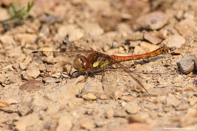Common Darter Sympetrum striolatum 002