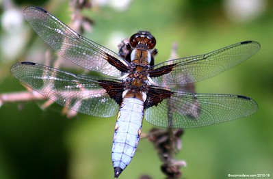 Broad Bodied Chaser (male) 006