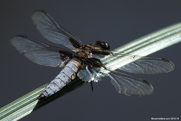Broad Bodied Chaser (male) 001