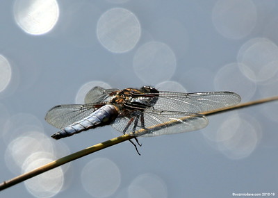 Broad Bodied Chaser (male) 008