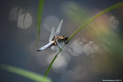 Broad Bodied Chaser (male) 004