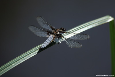 Broad Bodied Chaser (male) 002