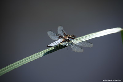 Broad Bodied Chaser (male) 010