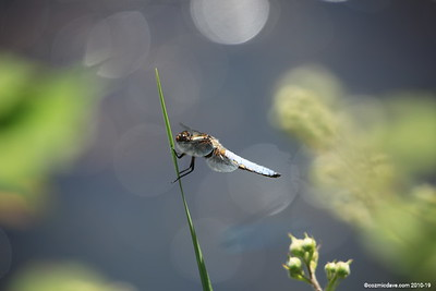Broad Bodied Chaser (male) 003