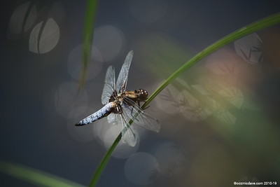 Broad Bodied Chaser (male) 011