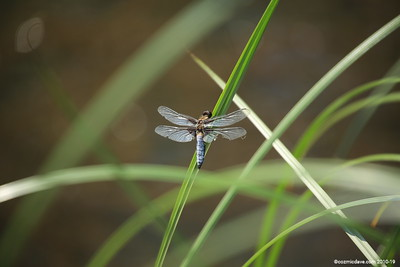 Broad Bodied Chaser (male) 009