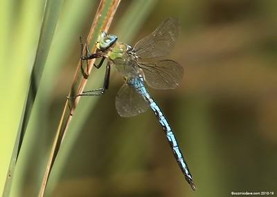 Southern Hawker or Blue Hawker (Aeshna Cyanea) Dragonfly