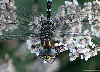 Hawker Dragonfly 007