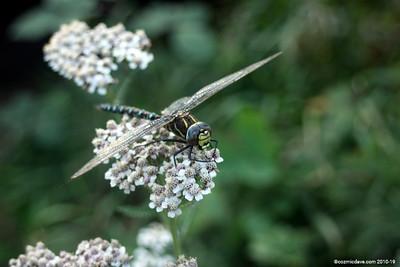 Hawker Dragonfly 010
