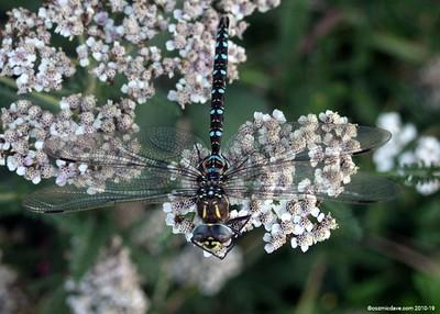 Hawker Dragonfly 001
