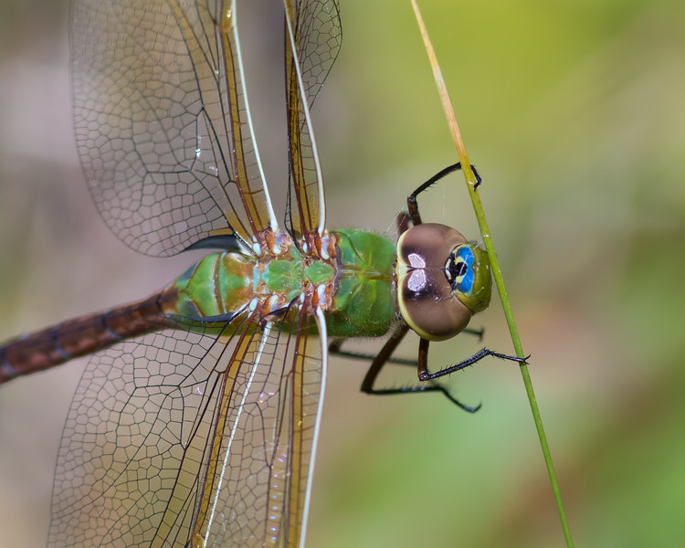 Common Green Darner, Prince Edward Point National Wildlife Area, Ontario