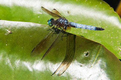 Dasher - Blue - (Pachydiplax longipennis) - Alder Road - Itasca County, MN