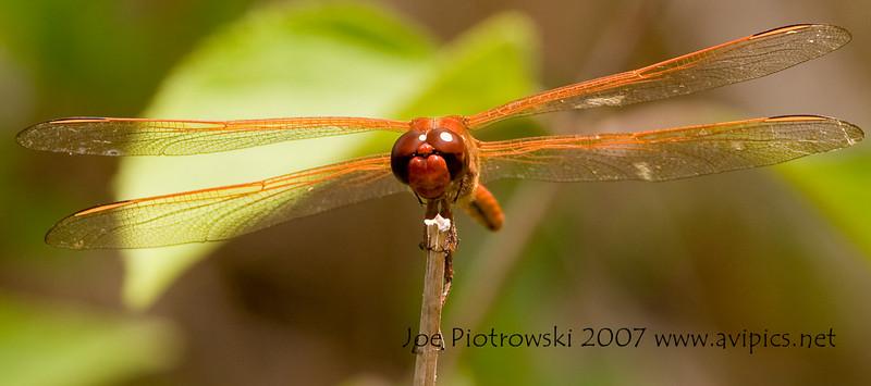 Golden-winged or Needham's Skimmer male