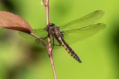Baskettail-Spiny-(Epitheca spinigera)-Dunning Lake-Itasca County, MN