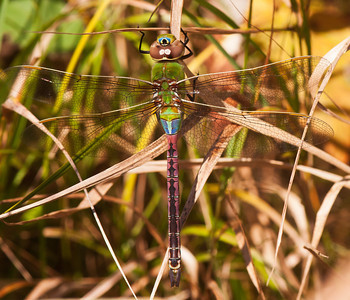Darner-Common Green-(Anax junius) - Little Marais, MN
