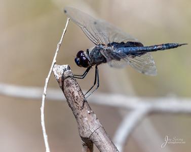 Black Saddlebags Dragonfly