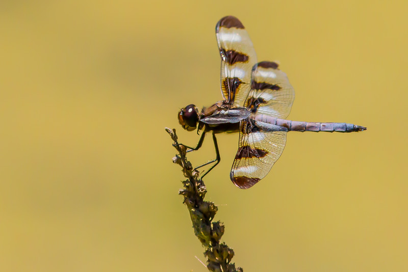 Twelve-spotted Skimmer, Prince Edward County, Ontario
