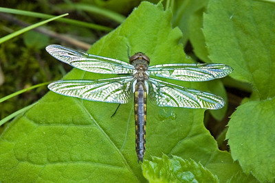 Baskettail-Common-(Epitheca cynosura) - Dunning lake - Itasca County, MN