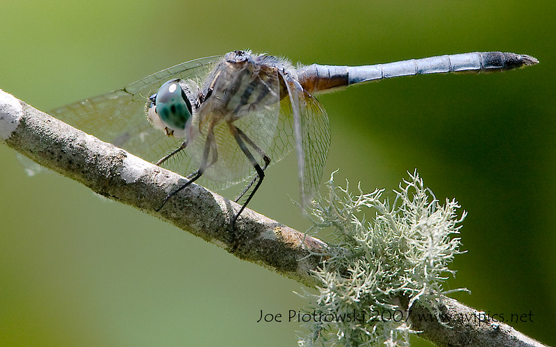 Blue Dasher male<br /> Pachydiplax longipennis