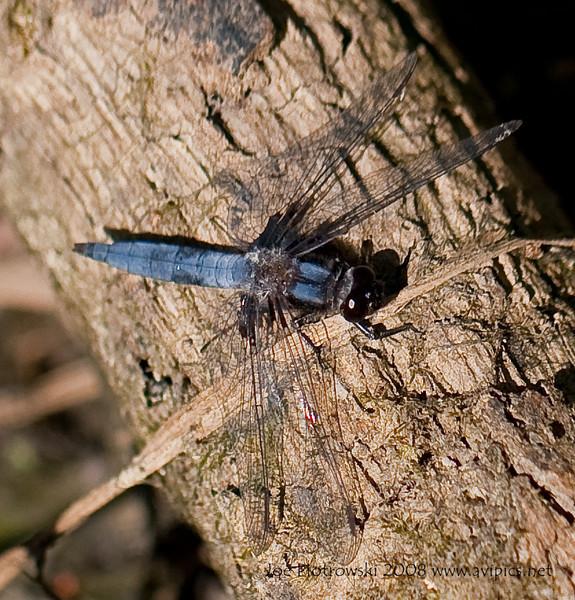 Blue Corporal male<br /> Ladona deplanata