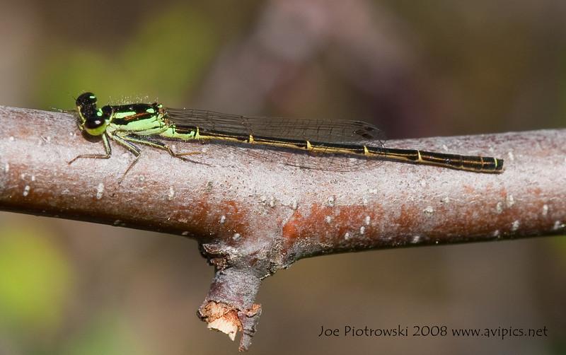 Fragile Forktail male<br /> Ischnura posita