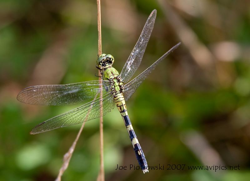 Eastern Pondhawk female<br /> Erythemis simplicicollis