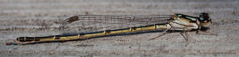 Fragile Forktail female<br /> Ischnura posita