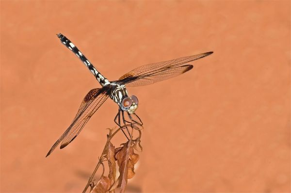 Male Checkered Setwing Dragonfly