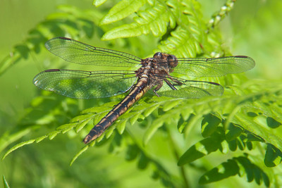 Clubtail-Dusky-(Gomphus spicatus) - Dunning lake - Itasca County, MN