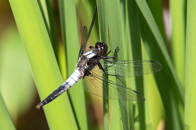 Corporal-Chalk-fronted-(Ladona julia)-Dunning Lake-Itasca County, MN